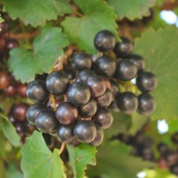 Muscadine grapes noble reds and Carlos white unprocessed