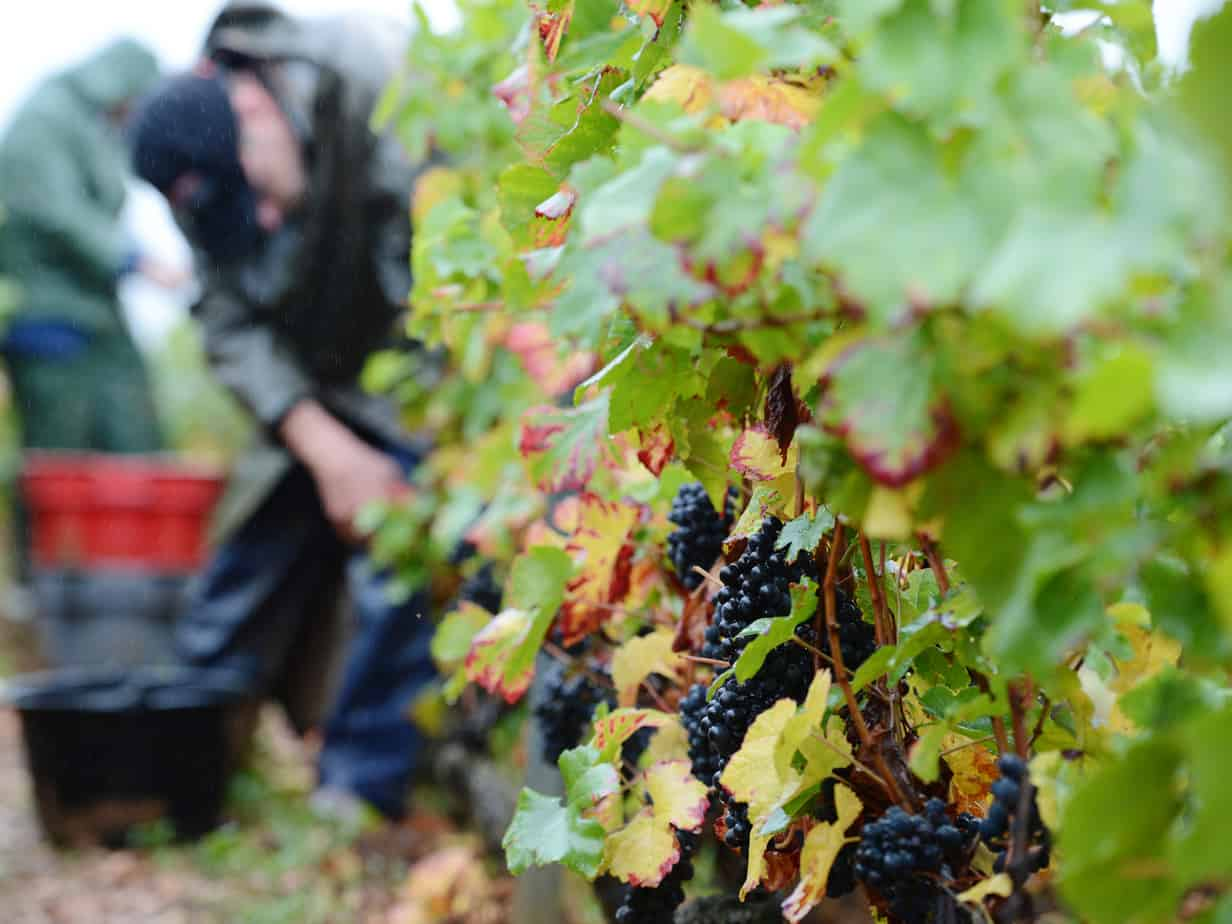Northeast Florida's Grape Expectations U-Pick Vineyard